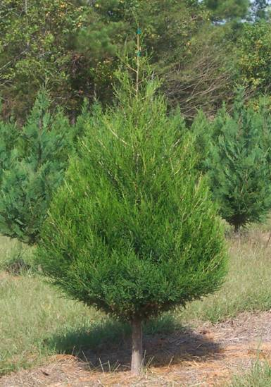 Eastern Red Cedar Tree Information ~ The gallery for gt eastern red cedar christmas tree