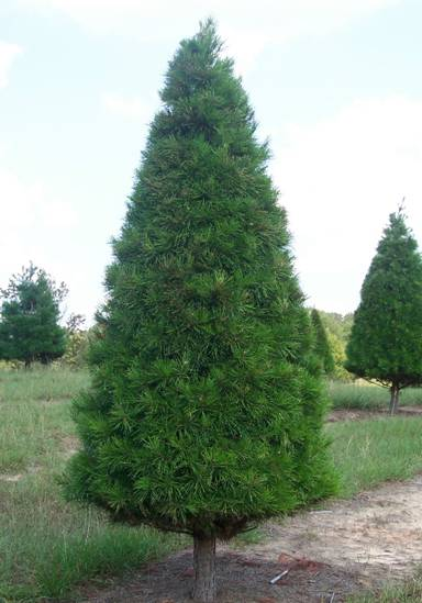 Christmas Trees Real